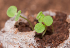 Seedlings growing in a peat moss Royalty Free Stock Photos