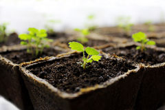 Seedlings. Growing in peat moss pots Royalty Free Stock Photography