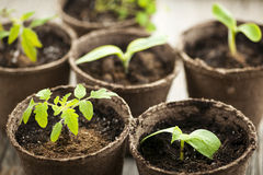 Seedlings growing in peat moss pots. Potted seedlings growing in biodegradable peat moss pots Stock Photo