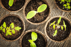 Seedlings growing in peat moss pots. Potted seedlings growing in biodegradable peat moss pots from above Royalty Free Stock Images