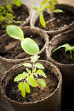 Seedlings growing in peat moss pots. Potted seedlings growing in biodegradable peat moss pots close up Royalty Free Stock Photos