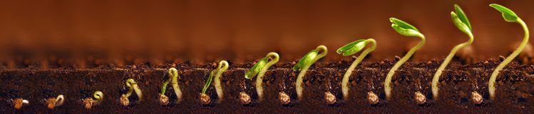 Seedlings growing. Plants grow stages. Seedlings growth periods. Royalty Free Stock Image