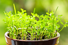 Seedlings growing in pot Royalty Free Stock Images