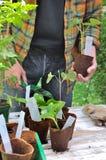 Seedlings in growing pot Royalty Free Stock Image
