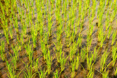 Rice Paddy Growth. Seedlings growing in a rice paddy Royalty Free Stock Photos