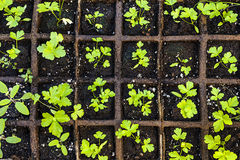 Seedlings growing in starter tray. Seedlings of herbs and vegetables growing in grid starter tray Royalty Free Stock Photography