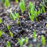 Seedlings growing Royalty Free Stock Image