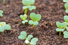 Seedlings grown in plastic tray Royalty Free Stock Photography