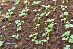 Seedlings grown in plastic tray Stock Photos