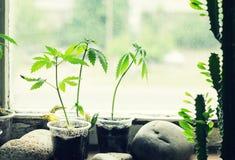 Seedlings of hemp on the windowsill royalty free stock photos