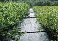 Seedlings of highbush blueberry in plantation royalty free stock image