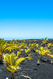 Seedlings on the lava field, Hawaii Stock Photography