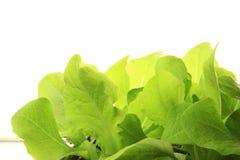 Seedlings of Lettuce. Before a white background Stock Photo
