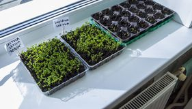 Sprouts of seedlings grow.Organic plant growing-image royalty free stock photography