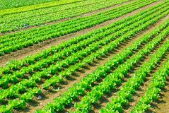 Seedlings of lettuce lined. In the field Royalty Free Stock Photos