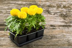 Seedlings of marigold flowers Royalty Free Stock Photo