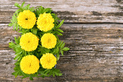 Seedlings of marigold flowers Stock Photography
