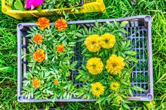 Seedlings of marigolds in a box on green grass Stock Photos