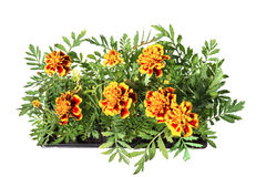 Seedlings of marigolds in plastic cassettes Stock Photography