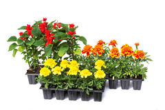 Seedlings of marigolds and salvia in cassettes Stock Photo