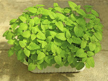 Seedlings melissa. Young seedlings melissa with tender leaves stock photos