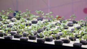 Seedlings of new plants in the laboratory. Hydroponics.