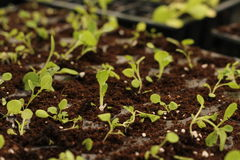 Seedlings novos Imagens de Stock