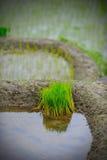 Seedlings novos do arroz Foto de Stock Royalty Free