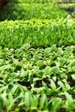 Seedlings in Nursery. Tender seedlings in nursery - Selective focus Royalty Free Stock Photography