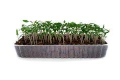 Free Seedlings Of Tomato Royalty Free Stock Photos - 13598988