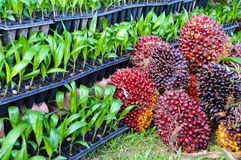 Seedlings of oil palm Royalty Free Stock Image
