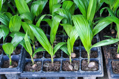 Seedlings of oil palm Stock Photos