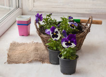 Seedlings pansies in a basket Stock Photography