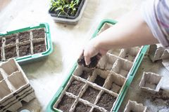 Baby plants seeding, black hole trays for agricultural seedlings.The spring planting. Early seedling , grown from seeds stock photos