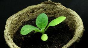 Seedlings in peat pots. Small seedlings in peat pots Royalty Free Stock Images