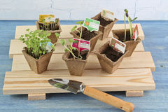 Seedlings in 6 peat pots on wooden pallet. Blue background Stock Photo