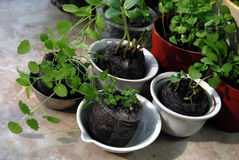 Seedlings in peat tablets in small cups Stock Images