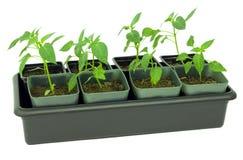 Seedlings of pepper Stock Image