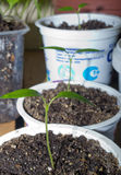 Seedlings of peppers Royalty Free Stock Photography