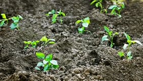 Seedlings of peppers planted in open ground. Prepared pepper seedlings are planted in prepared soil to the hole Stock Photos