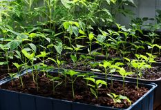 Seedlings of peppers and tomatoes. royalty free stock photography