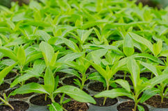 Seedlings of Periwinkle Royalty Free Stock Image