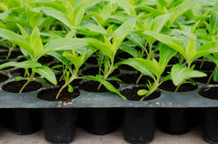 Seedlings of Periwinkle Stock Photos