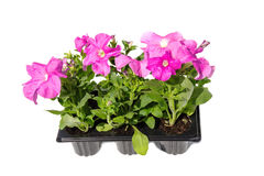 Seedlings of Petunia in plastic cassettes Stock Images
