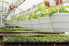 Seedlings of petunias Stock Photography