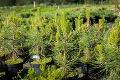 Seedlings Of Pine -Tree Pinus Sylvestris With Young Shoots In. Pots Growing In Coniferous Cattery In Sunny Day In Summer Royalty Free Stock Image