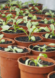 Seedlings In Plant Pots Stock Image