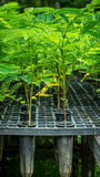 Seedlings of plant. Seedlings of tropical plant grown on the tube in the nursery Royalty Free Stock Images