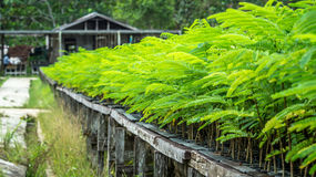 Seedlings of plant. Seedlings of tropical plant on the nursery Stock Image