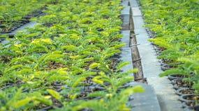 Seedlings of plant. Seedlings of tropical plant on the nursery Royalty Free Stock Image